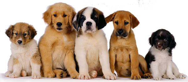 cachorros-de-perro
