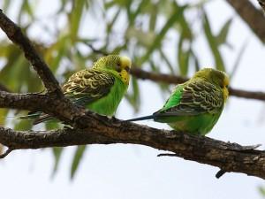 pareja-de-periquitos
